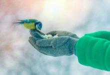 krmení sýkory modřinky během zimy