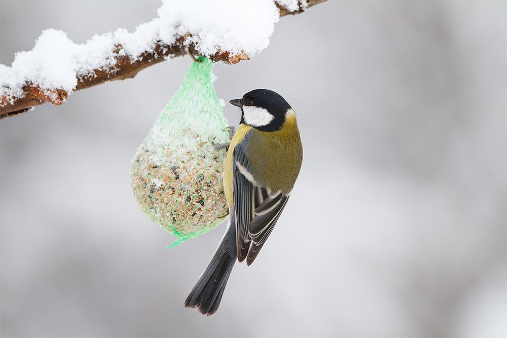 prikrmovani ptaku