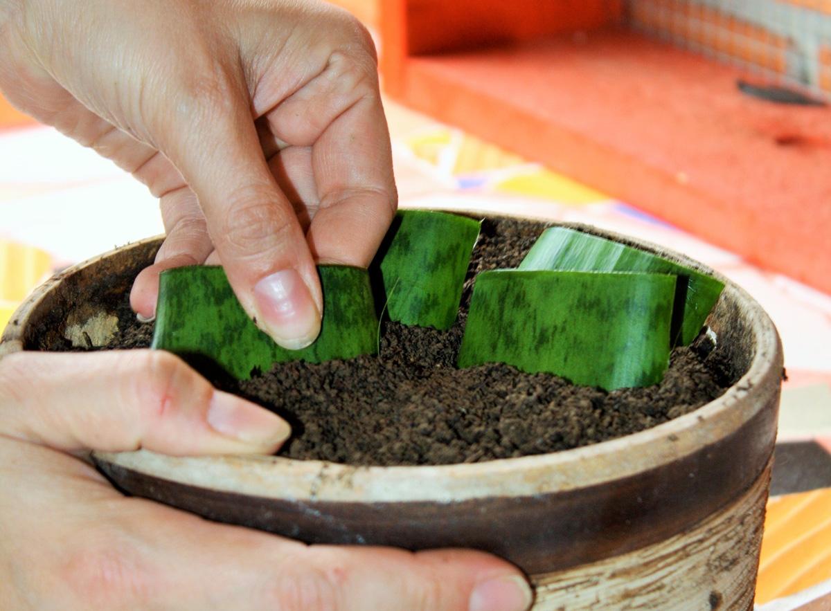 rozmnožování pokojových rostlin