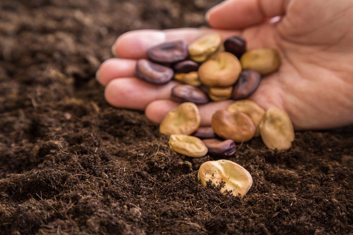 semená bobu