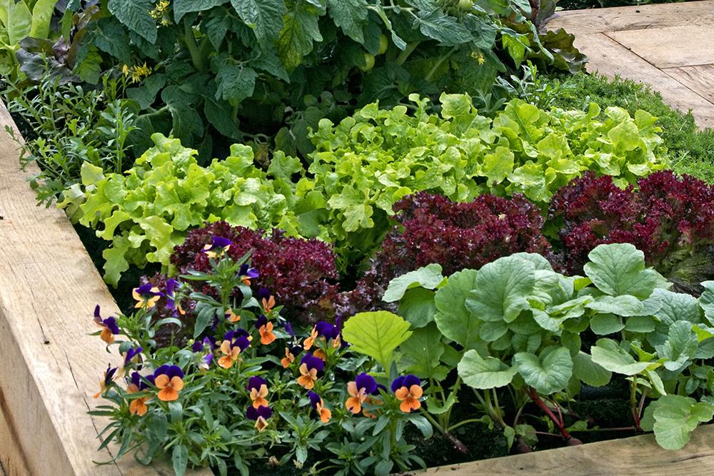 pěstujeme saláty