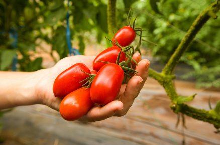 11 kroků k bohaté úrodě rajčat (video)