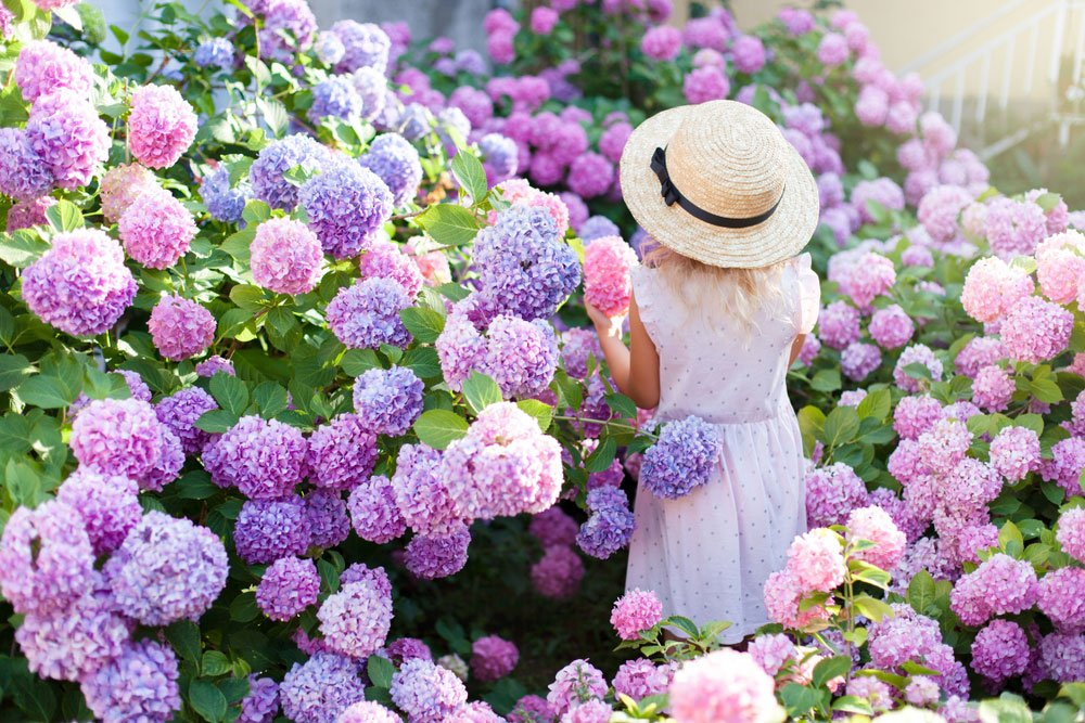 rozkvetlé hortenzie