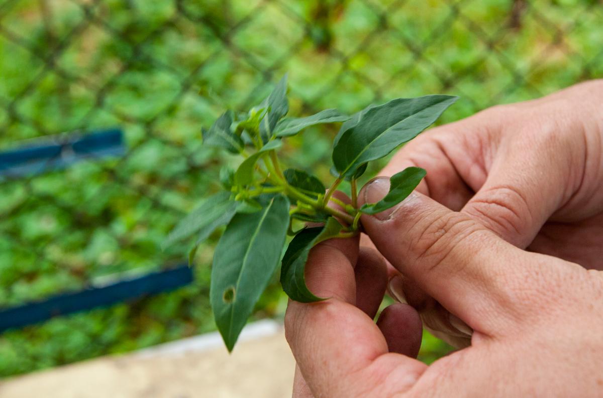 množení rostliny