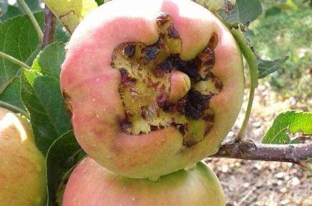 Poškození jablek od krup. Je možné je konzumovat?