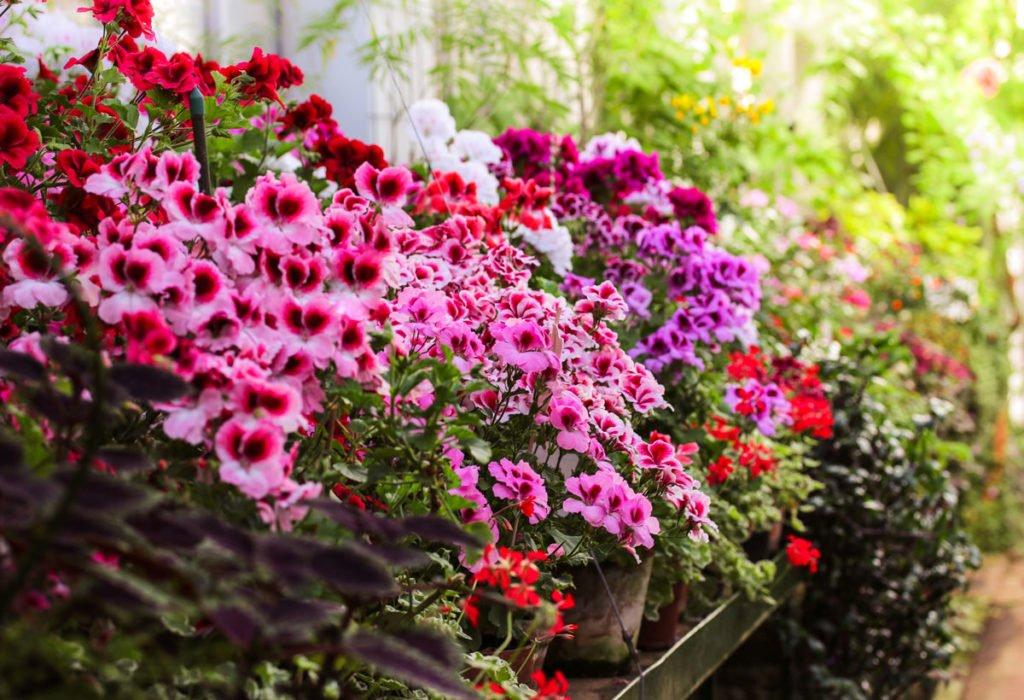 růžové a rudé muškáty ve květináčích