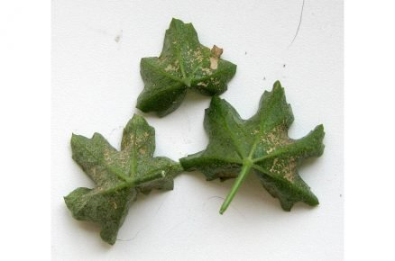 Za takové ošklivé listy muškátů může sám pěstitel