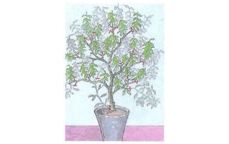 kyselomilné rostliny