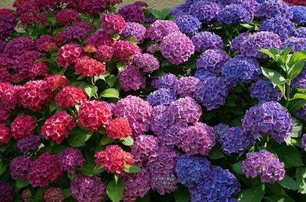 Jak pěstovat a přezimovat oblíbené keře našich zahrad – hortenzie