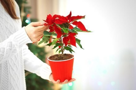 Vánoční růže: Umíte se o ni správně postarat?