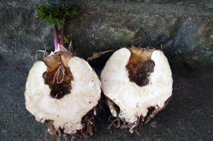 Proč se nedaří vypěstovat celer – dutiny v celeru