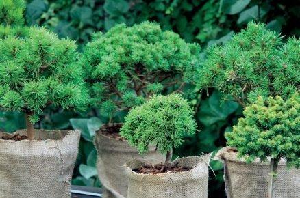 Naučte se, jaké jehličnany jsou vhodné do vaší zahrady