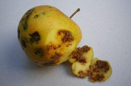 Hořká pihovitost jablek: Jak proti tomuto onemocnění postupovat?