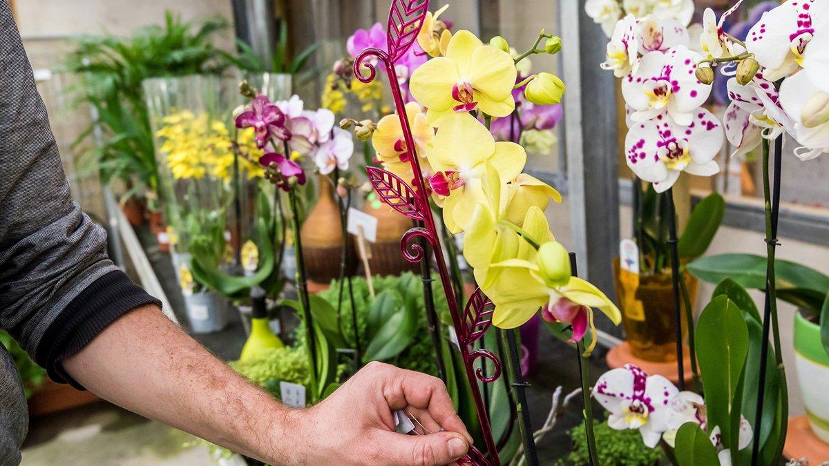 orchideje pěstování