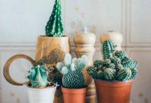Jak pečovat o kaktusy a sukulenty: police s kaktusy v květináčech.