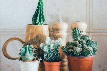 I nenáročné kaktusy a sukulenty vyžadují péči. S těmito radami se budou u vás mít jak v bavlnce