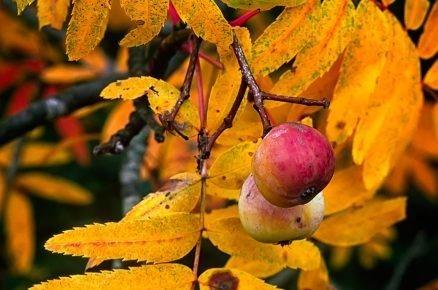 Klenot ovocné zahrady – jeřáb oskeruše, znáte ho?