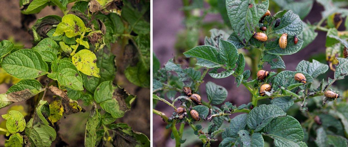škůdci brambor