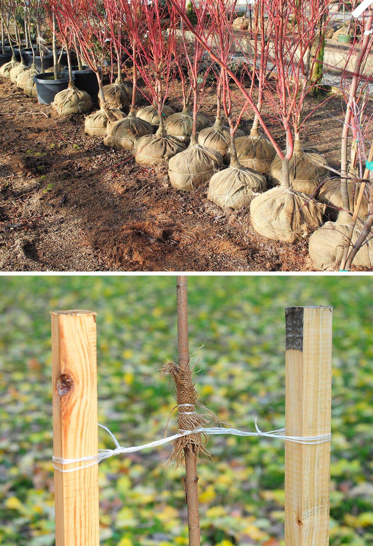 přesazování ovocných stromů
