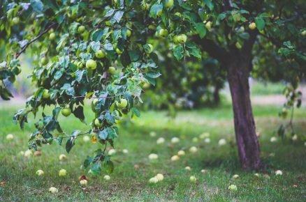 Kdy přesadit starší stromek jabloně a višně?