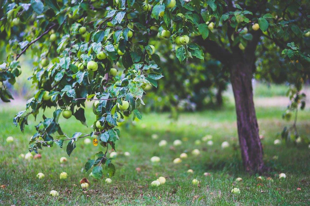 přesazování jabloně