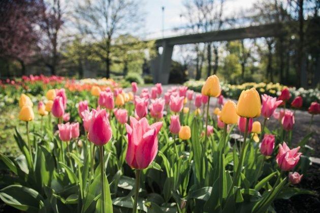 flora olomouc, smetanové sady, tulipány