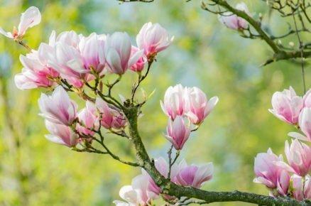 Magnolie, krásná ozdoba jarní zahrady