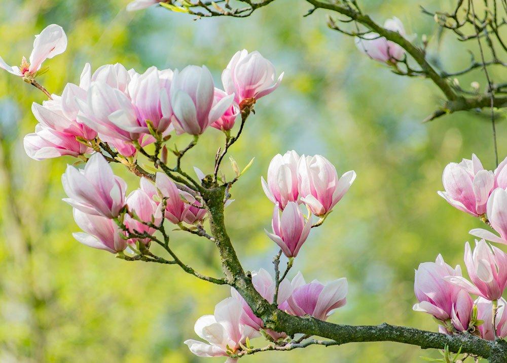 Magnolie v zahradě