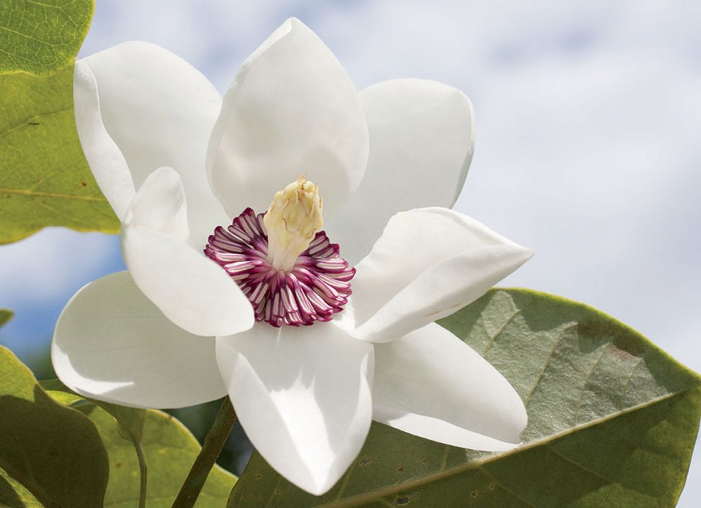 magnolie
