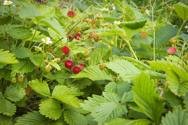 skvrnitost listů jahodníku