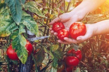 Nekupujte je v obchodě. Pěstování rajčat zkuste doma!