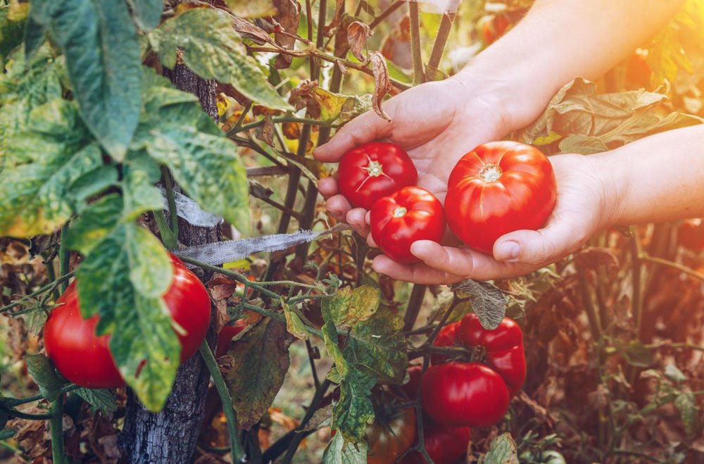 pěstování rajčat