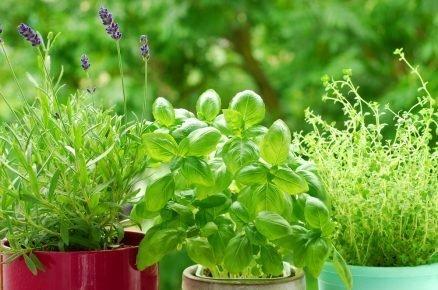 Jak si vypěstovat čerstvou bylinkovou nať na záhoně