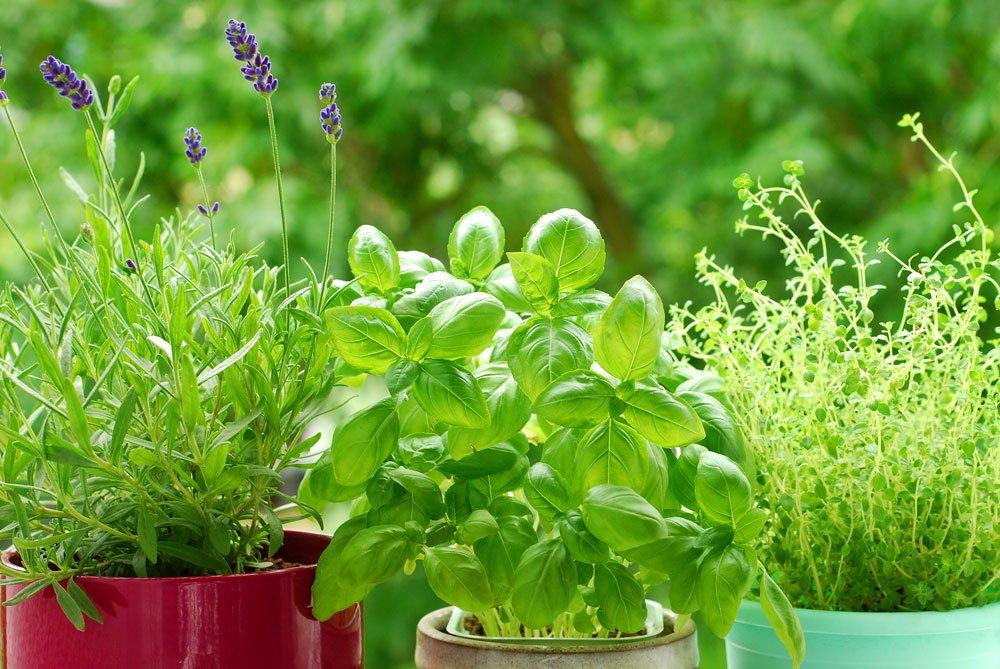 jak vypěstovat bylinky