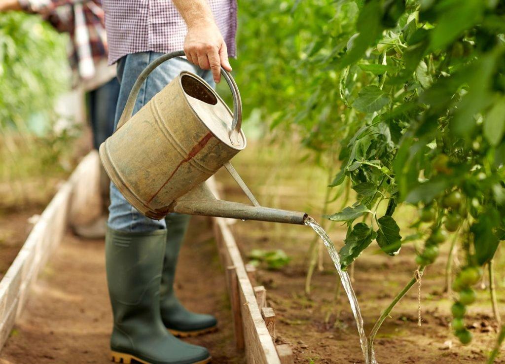 zalévání rajčat