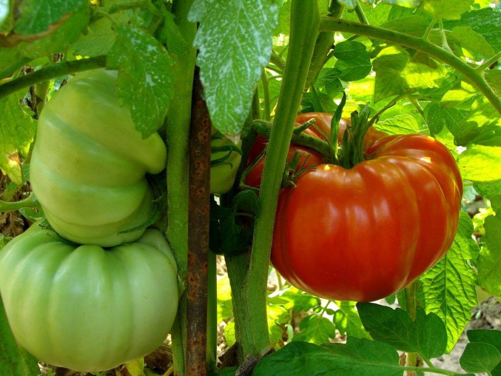 pěstování převislých odrůd rajčat