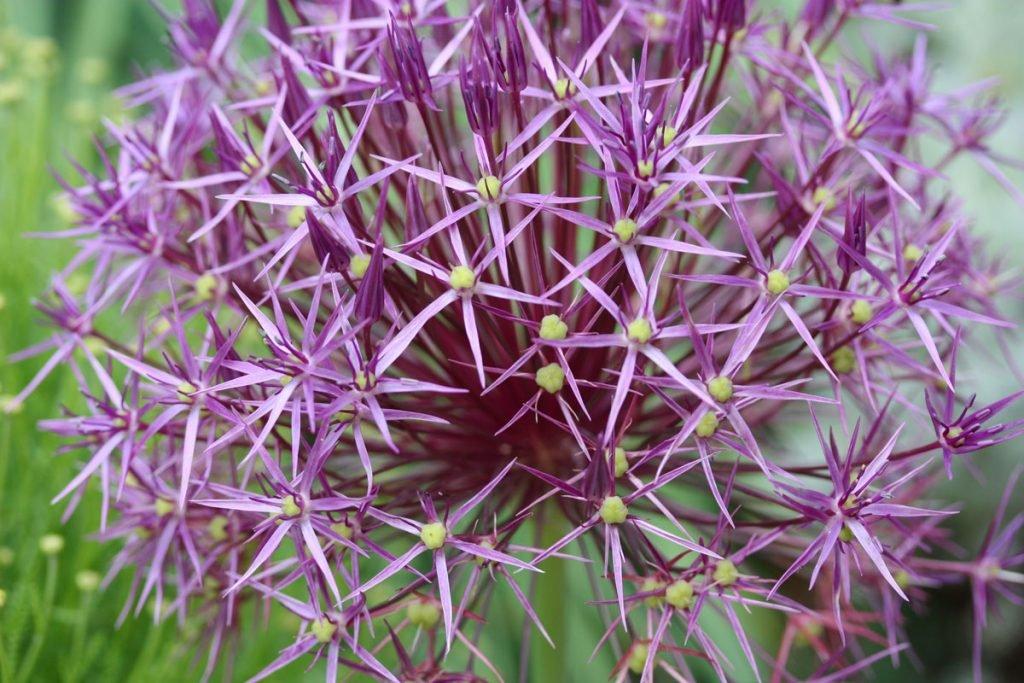 okrasný česnek ve fialové barvě