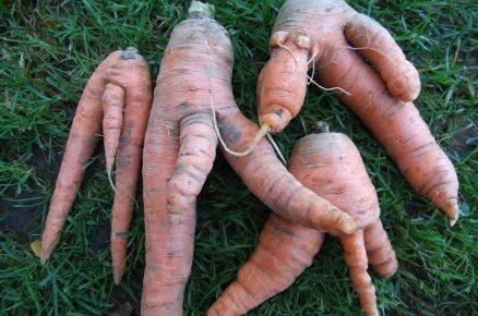 Co může za větvení kořenů mrkve?