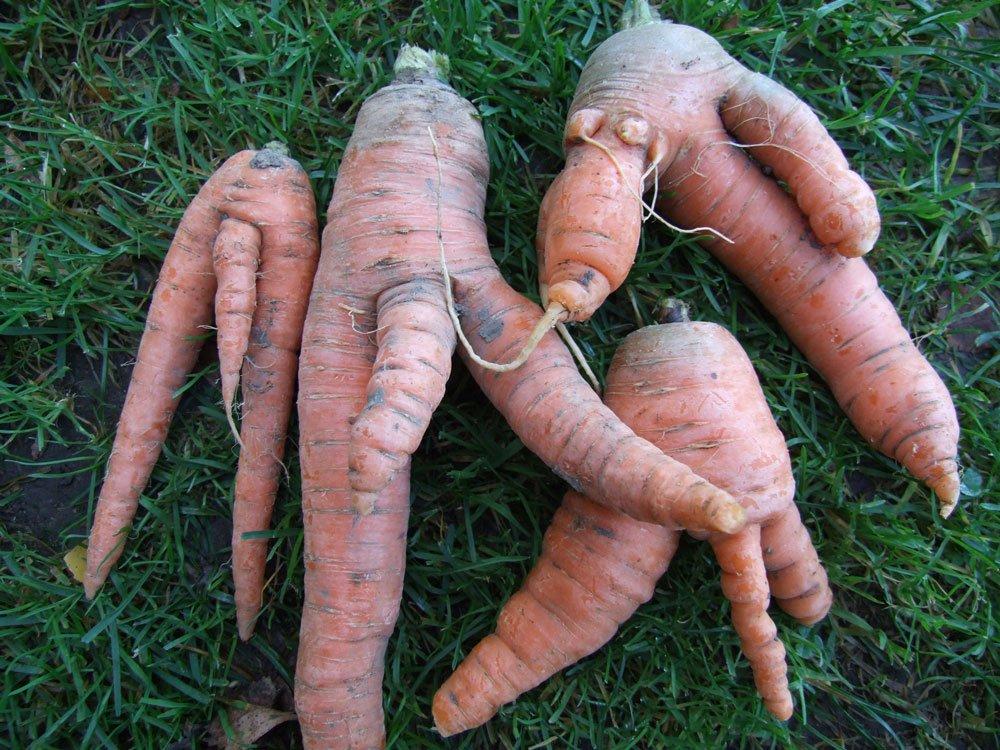 větvení kořenů u mrkvy