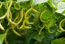 keříkový fazol