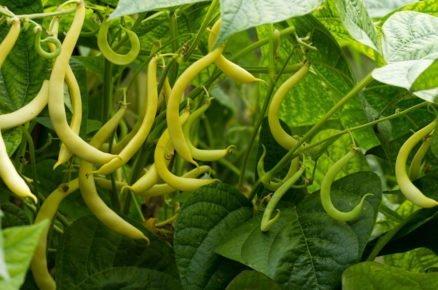 Vysázejte fazole i v červenci. Obohatí půdu o dusík!