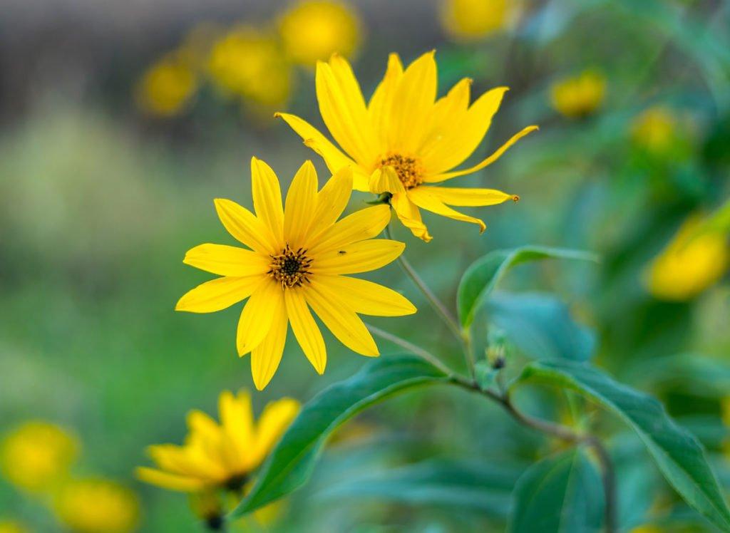 slunečnice kultivaru Helianthus maximiliani