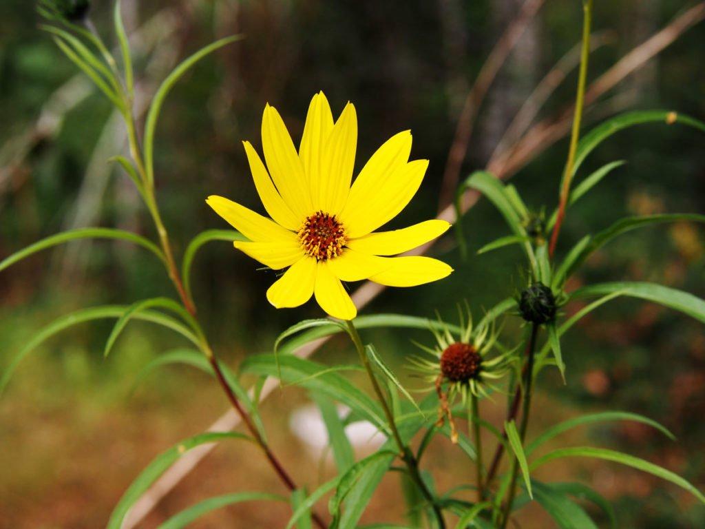 slunečnice kultivaru Helianthus salicifolius