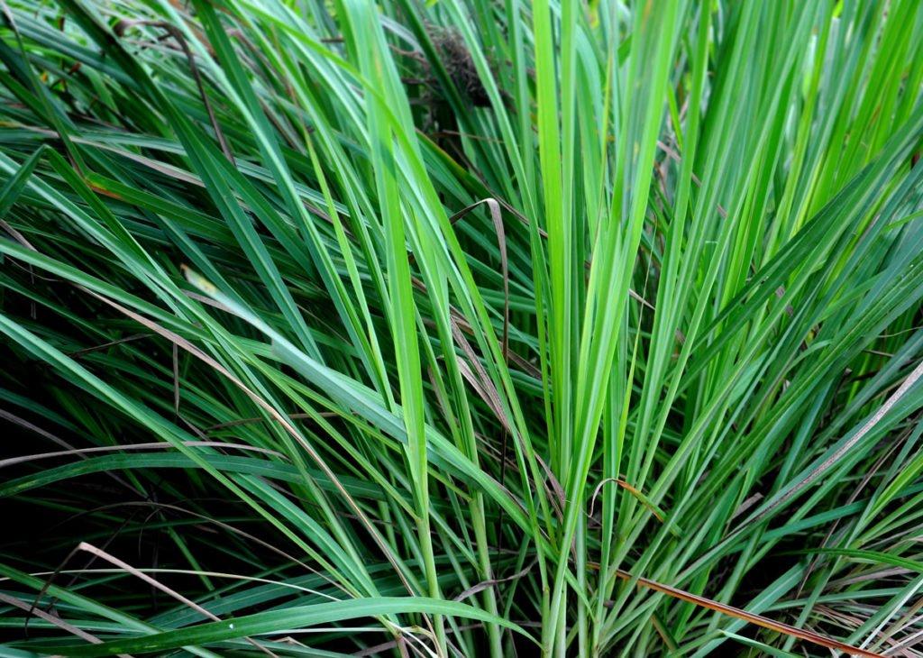 Rostliny proti komárům: Citrónová tráva