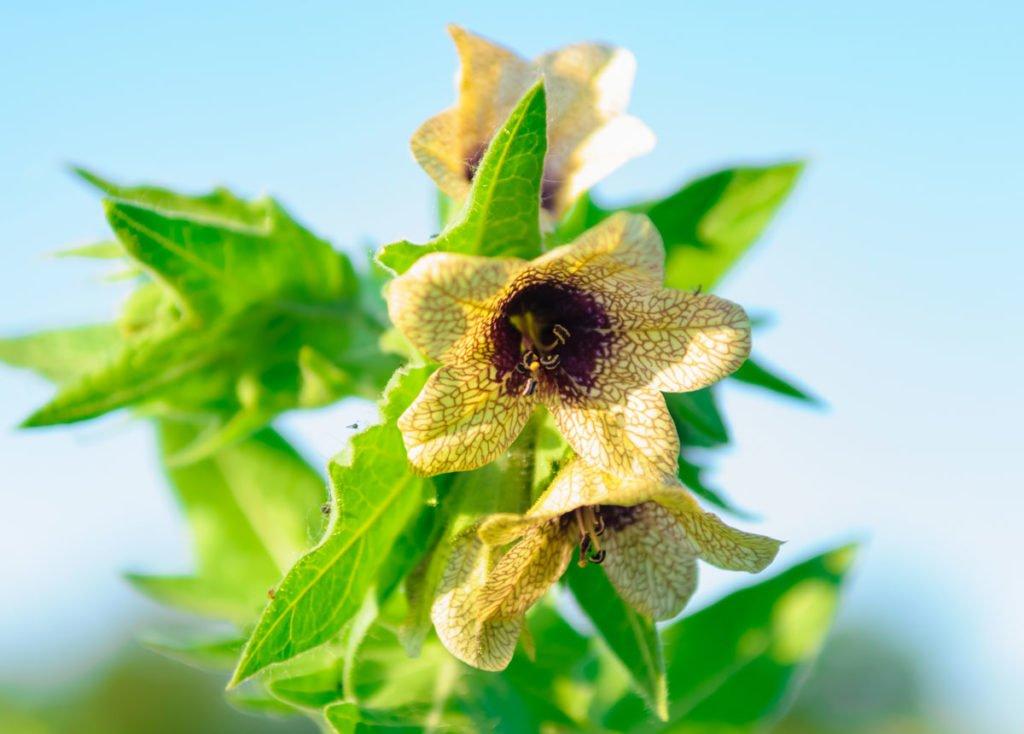 žlutý květ rulíka zlomocného