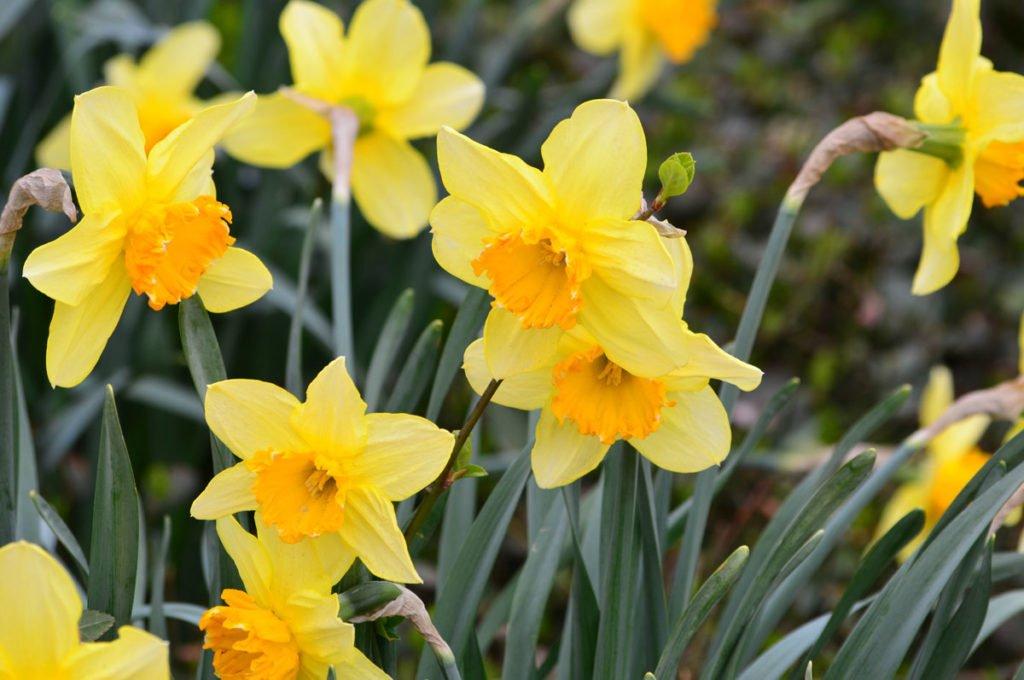 narcis žlutý