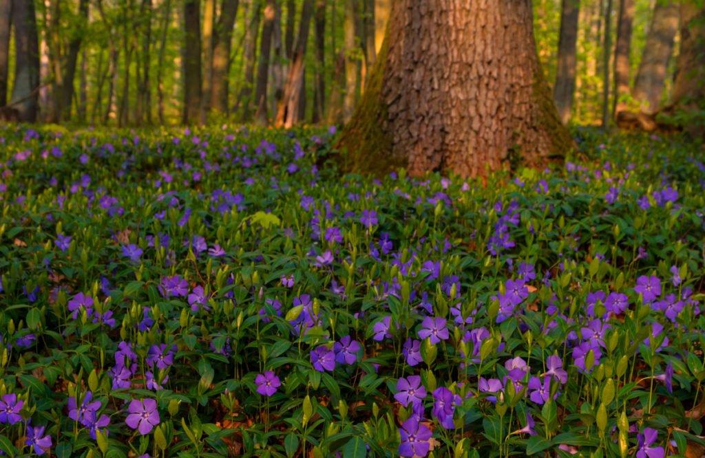 fialový barvínek menší rostoucí pod stromy