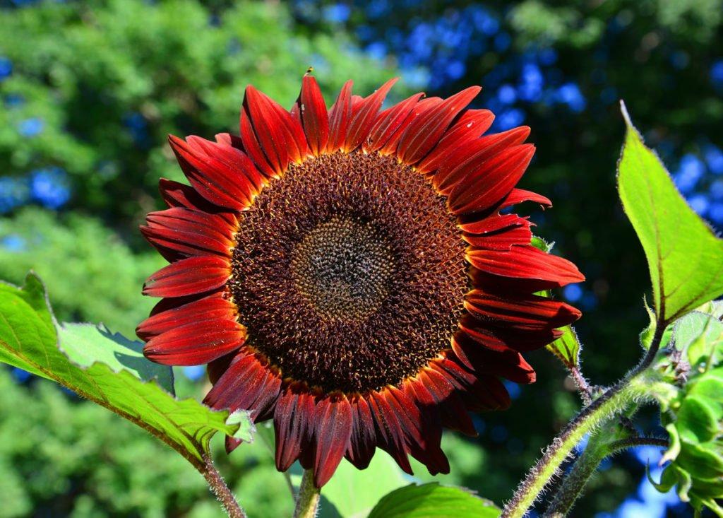 červená slunečnice Helianthus ´Red Prado´