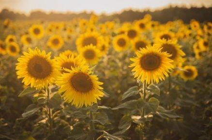 Slunce mezi květinama: Tradiční slunečnice svým vzhledem rozzáří každou zahradu