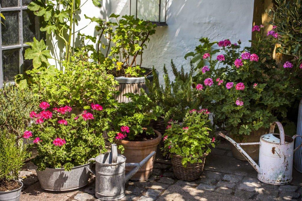 muškáty pěstované v nádobách na zahradě
